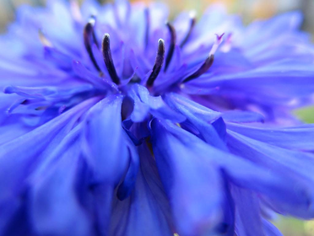 fiordaliso azzurro