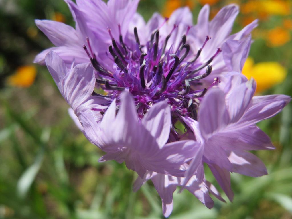 fiordaliso lilla