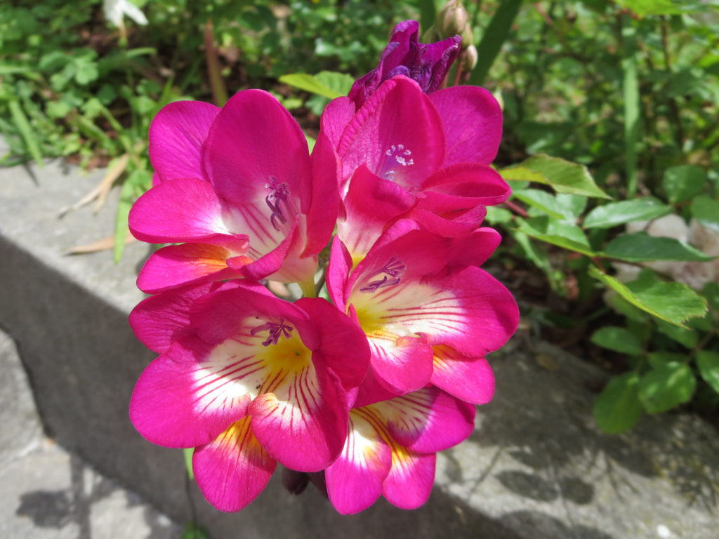 fresie rosa