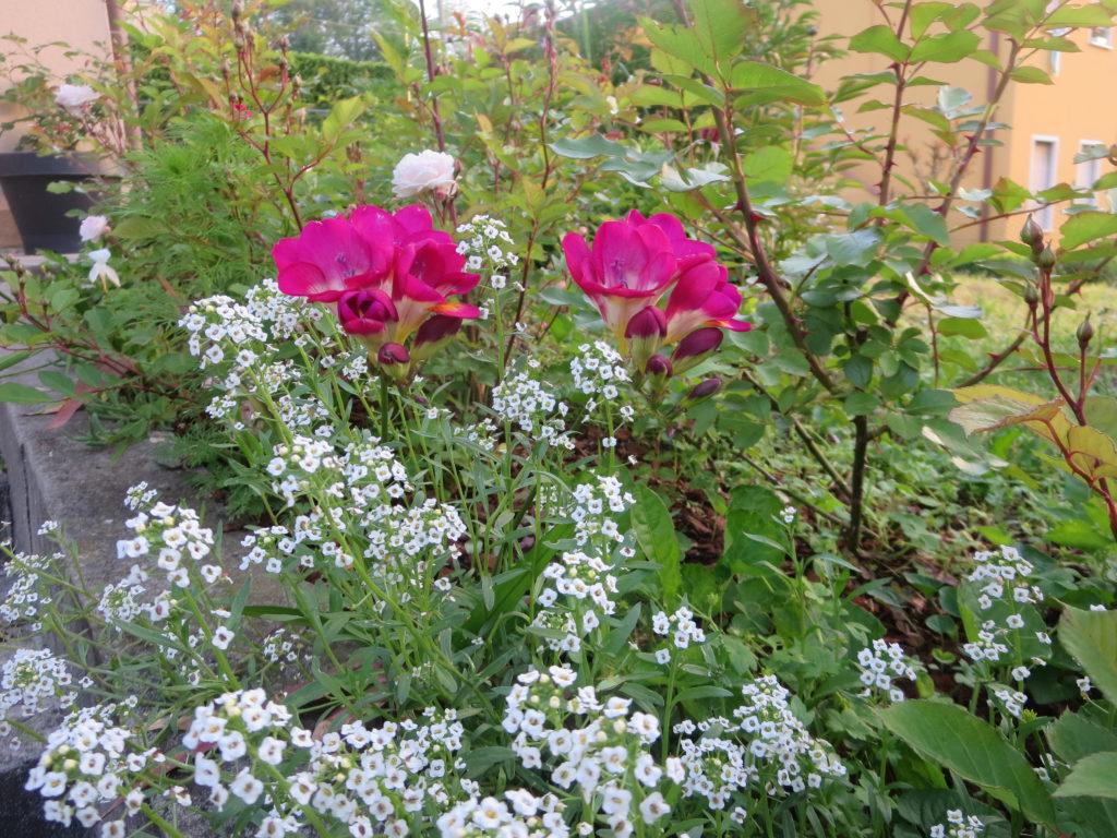 aiuola di rose, fresie, alisso