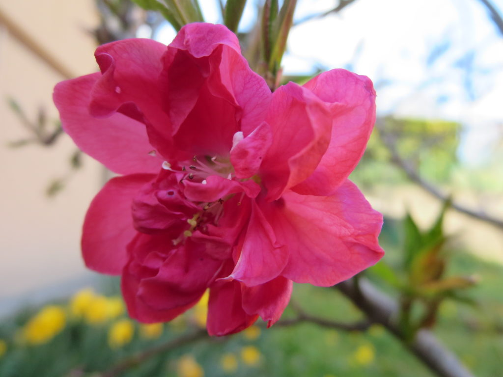 prunus_ornamentale