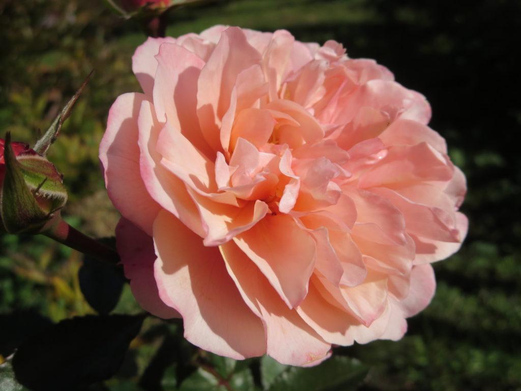 rosa_botticelli