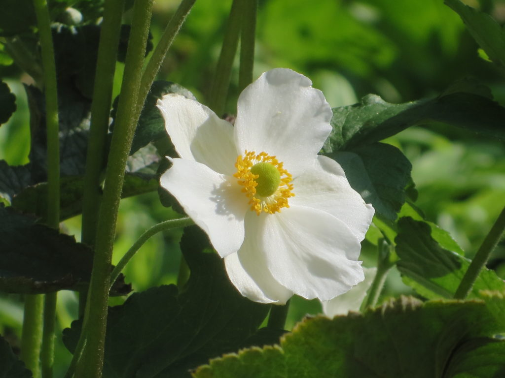 anemoni1