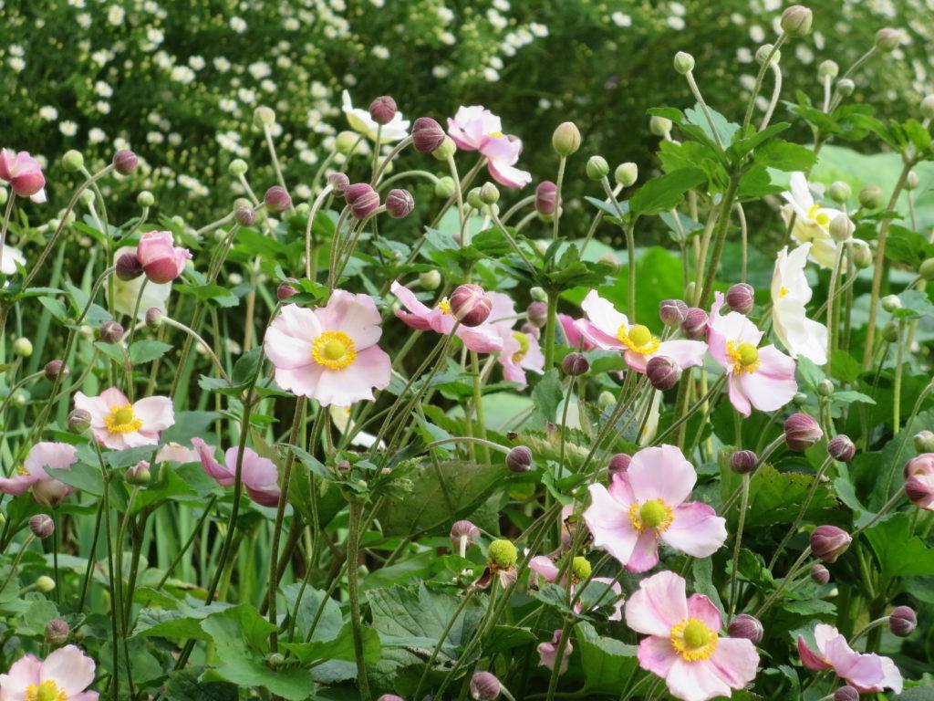 anemoni rosa