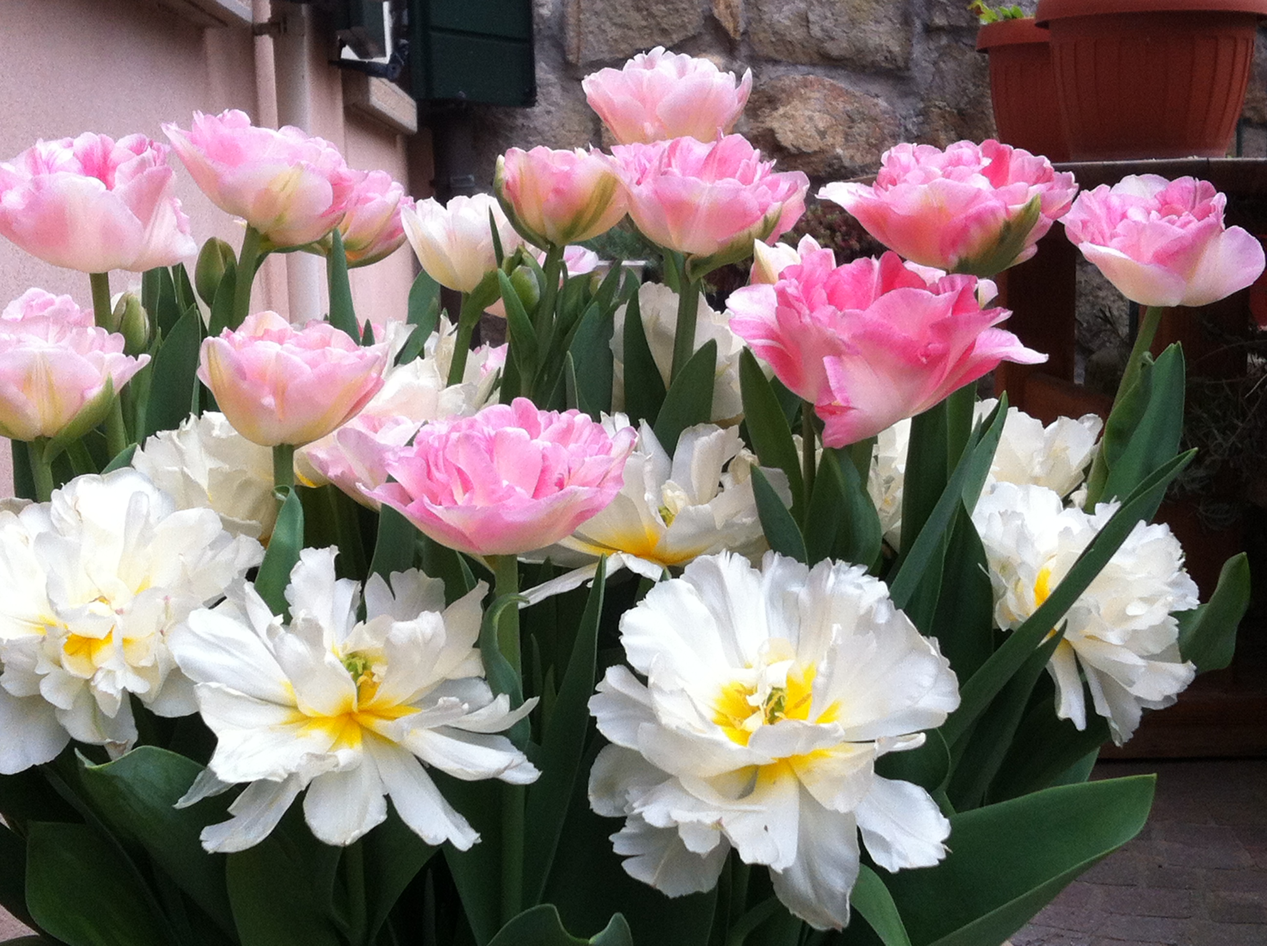 Piantare I Bulbi Di Tulipani tulipani – hortus incomptus