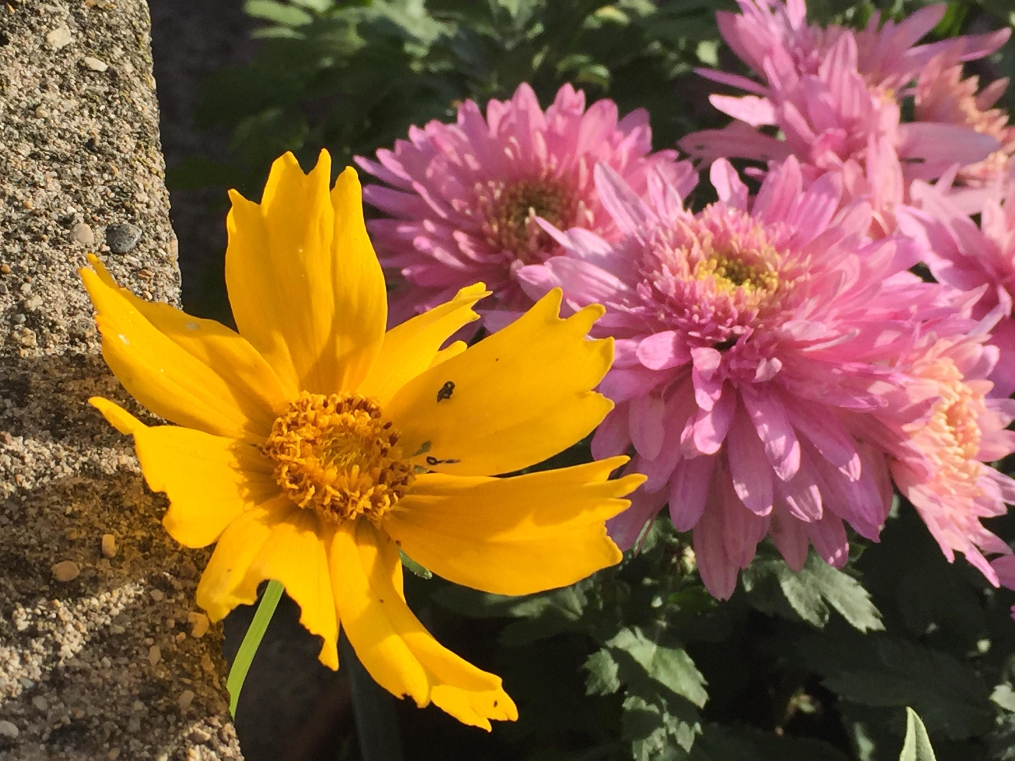 crisantemi2