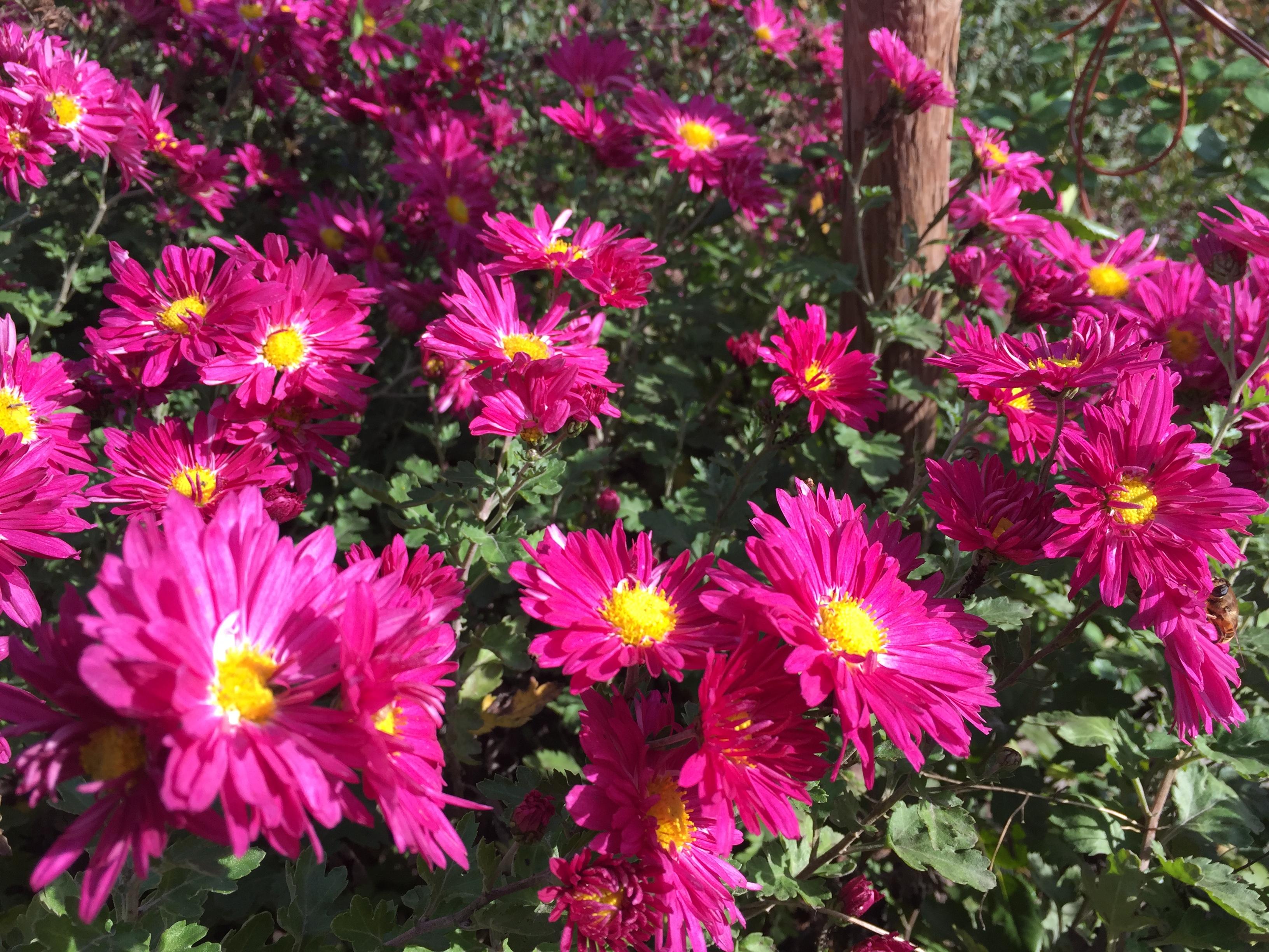 crisantemi5